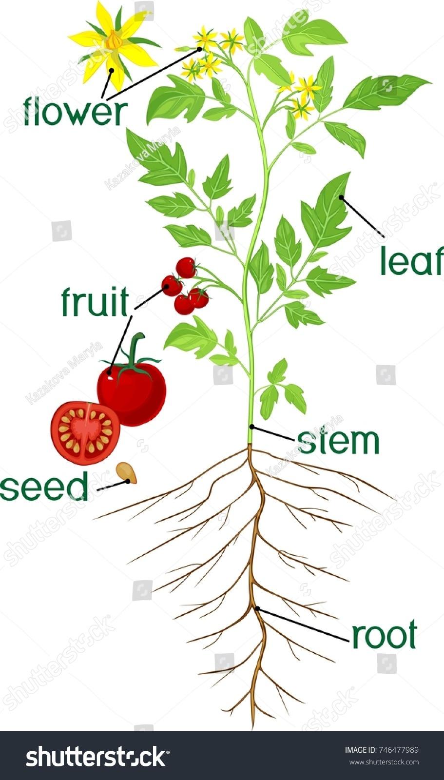 Parts Plant Morphology Flowering Tomato Plant Stock Vector 746477989