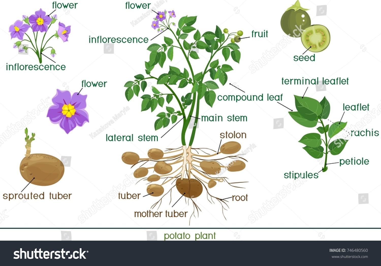 Anatomy of flowering plants Coursework Help lgpaperrtru.duos.me