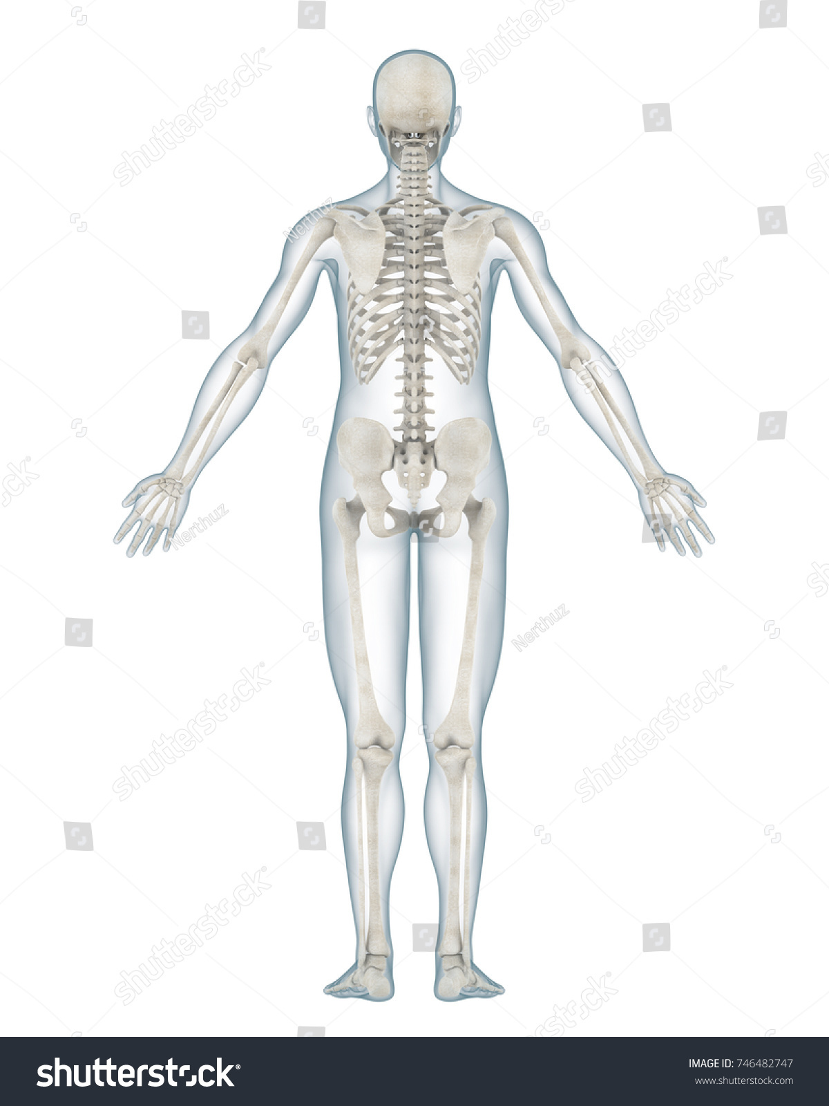Human Skeleton Anatomy Isolated Back View 3d Rendering Ez Canvas