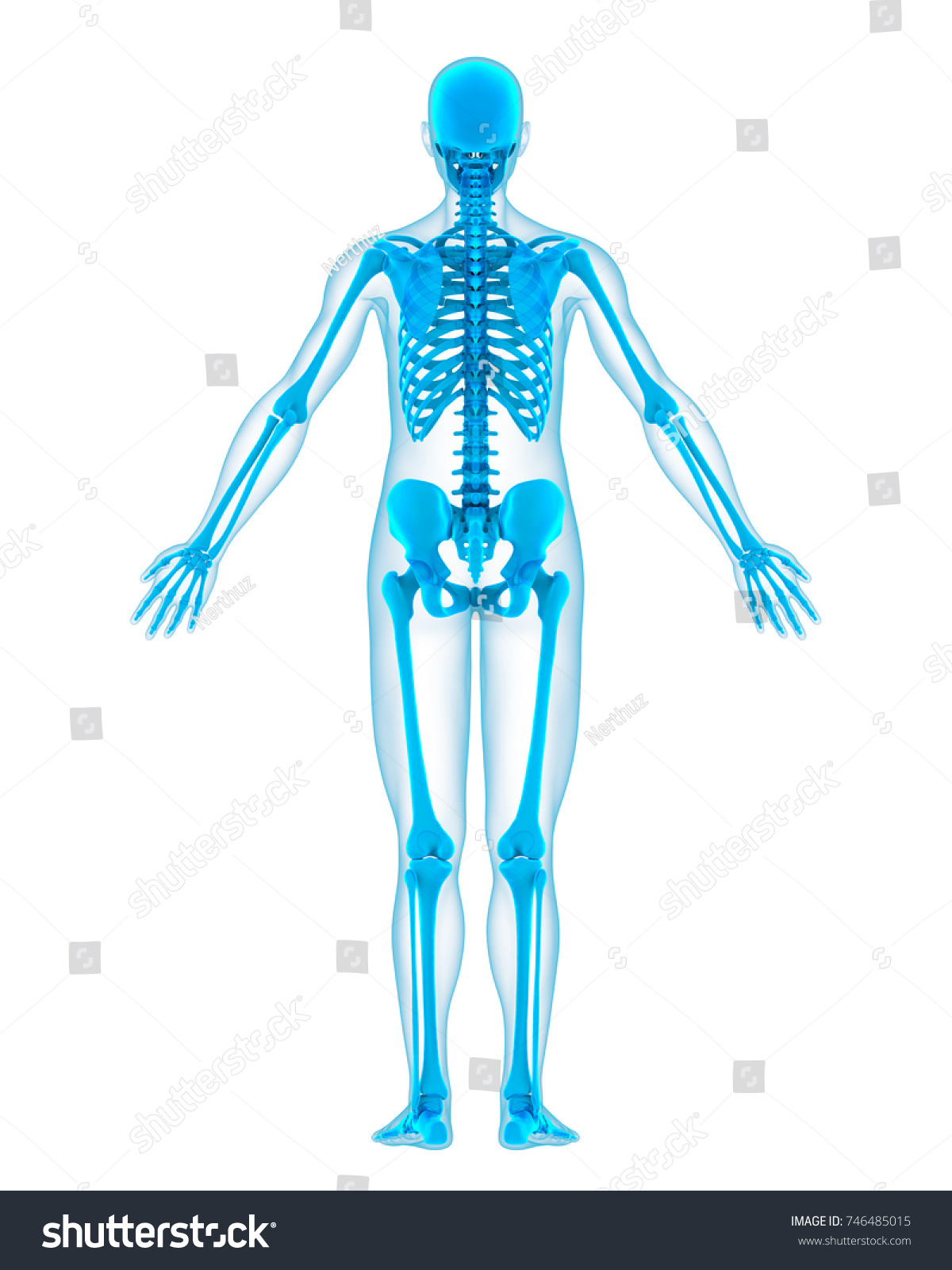 Human Skeleton Anatomy Isolated Back View Stock Illustration