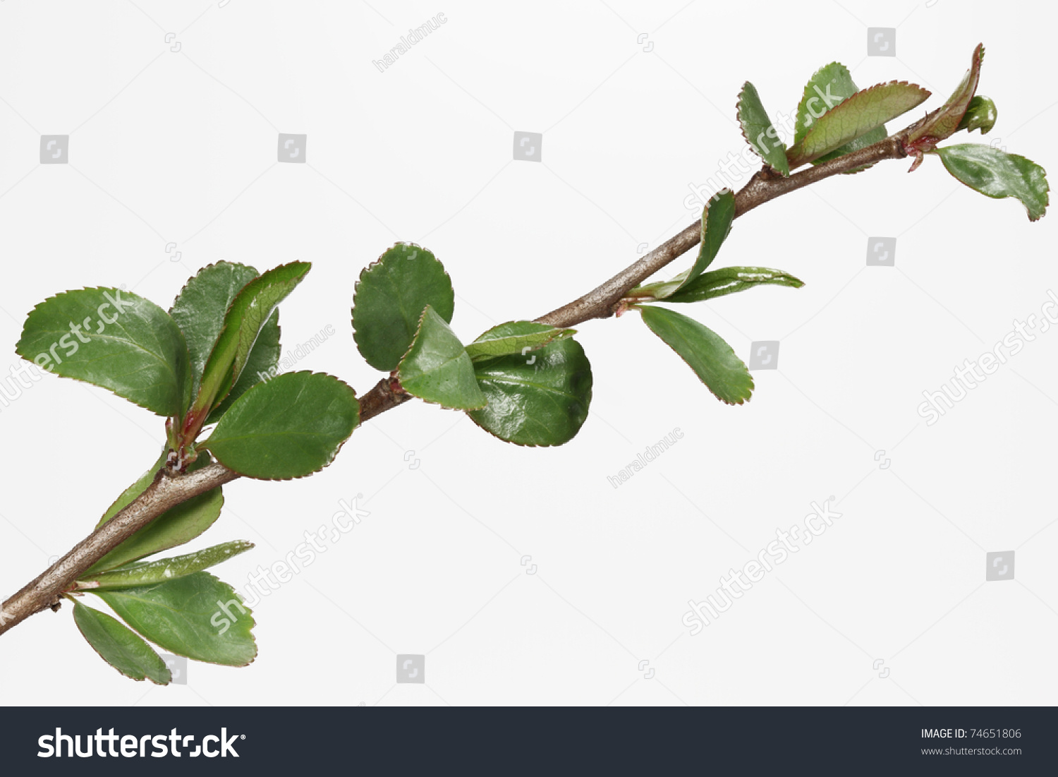 Japanese quince branch buds fresh leaves stock photo 74651806 japanese quince branch with buds and fresh leaves chaenomeles biocorpaavc Image collections