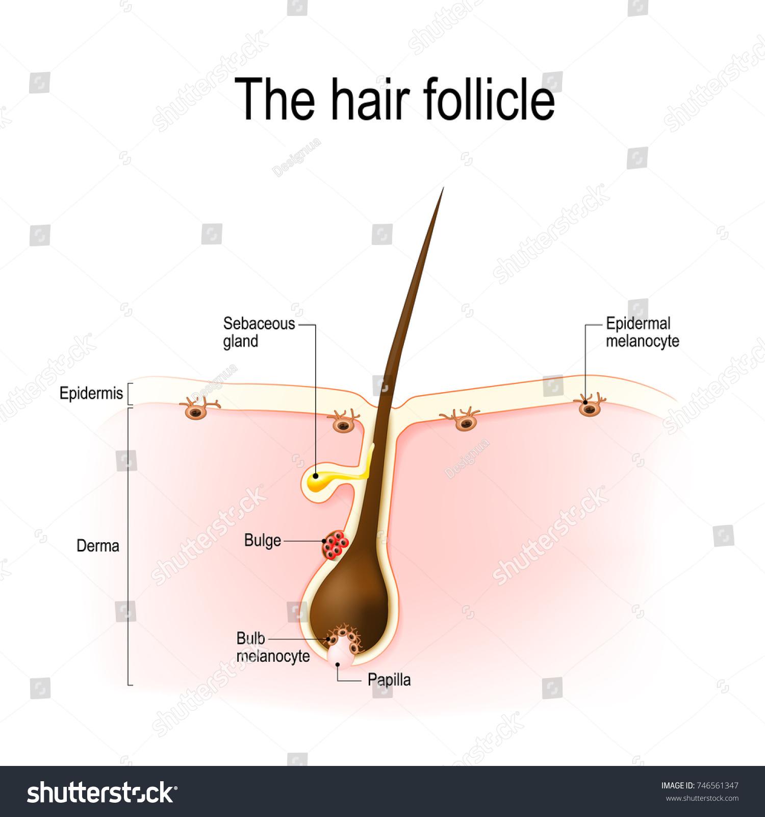 Anatomy hair follicle distribution differentiated immature stock anatomy of the hair follicle distribution of differentiated and immature melanocytes is shown pooptronica Choice Image