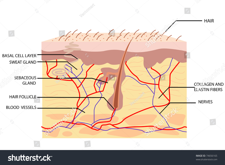 Illustration Anatomy Skin Label On White Stock Vector 74656165 ...
