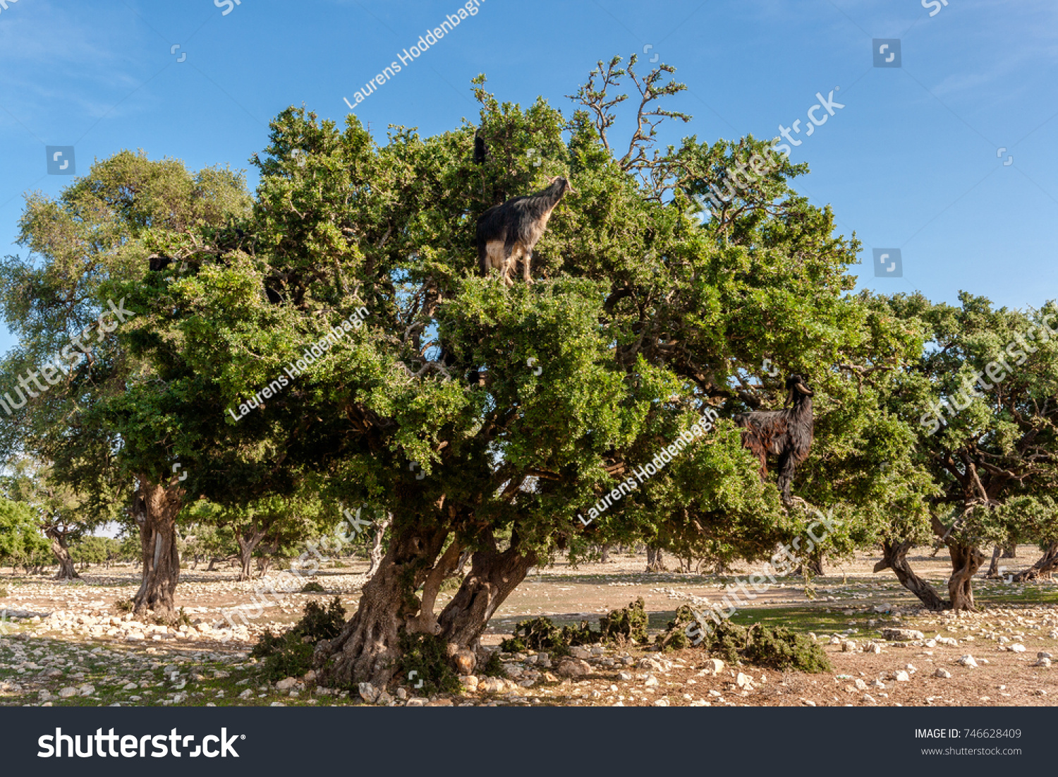 longan trees condition in production orchard, plant decline or ...