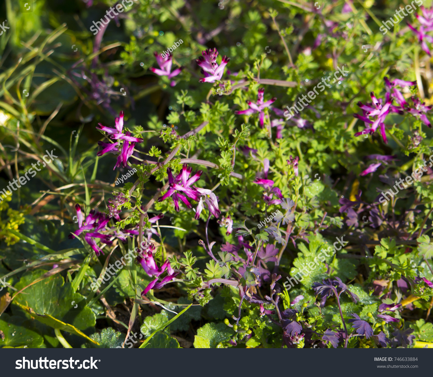 Pretty Pink Flowers Fumaria Officinalis Common Stock Photo Edit Now