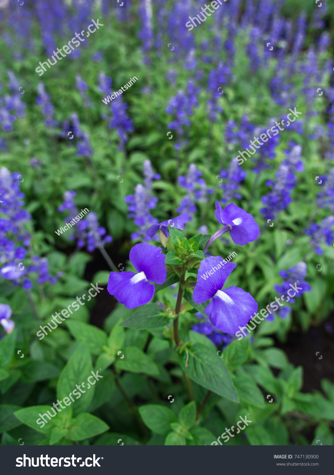 Blue Brazilian Snapdragon Flowers Blooming Garden Stock Photo