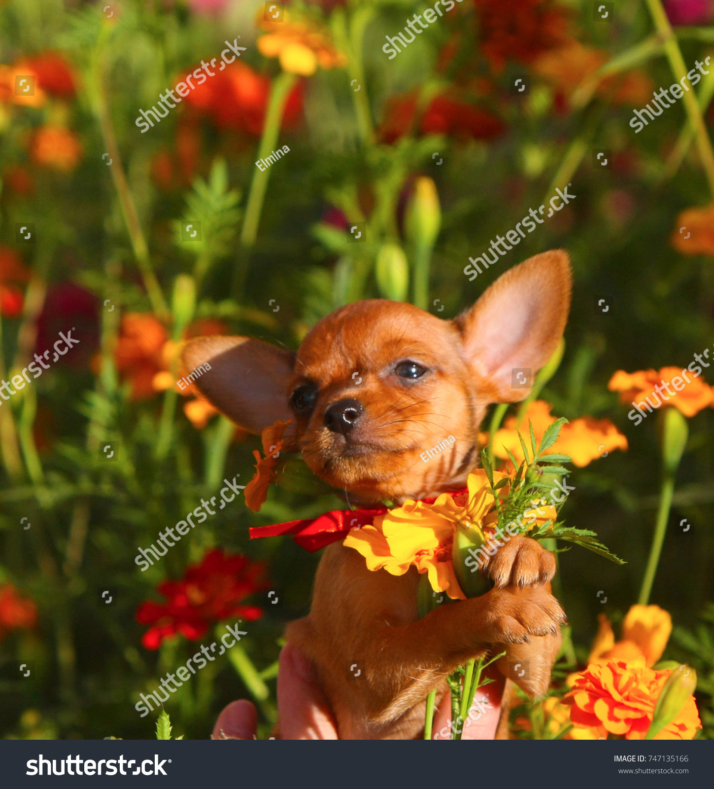 Redhead Miniature Puppy Holds Bouquet Flowers Stock Photo (Royalty ...