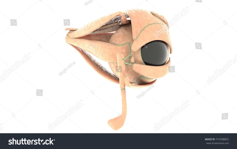 Human Organs Anatomy Eye 3 D Stock Illustration 747208852 - Shutterstock