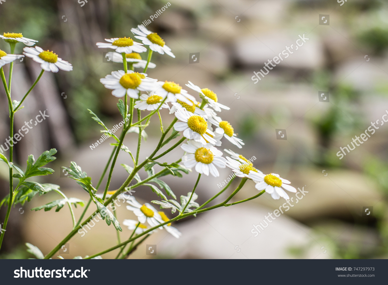 Small chamomile s common name several stock photo royalty free small chamomile s the common name for several daisy like plants of the family asteraceae izmirmasajfo