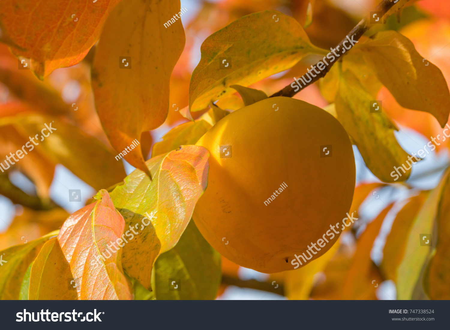 Persimmon Fruit On Tree Close Up Stock Photo (Royalty Free ...