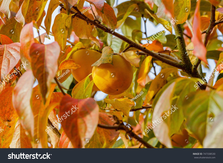 Persimmon Tree Ripe Orange Fruits Autumn Stock Photo (Royalty Free ...