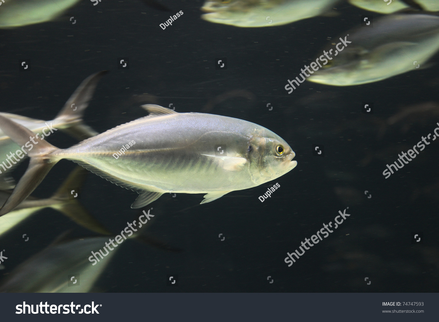 Tropical fish school tank stock photo 74747593 shutterstock for Stock tanks for fish