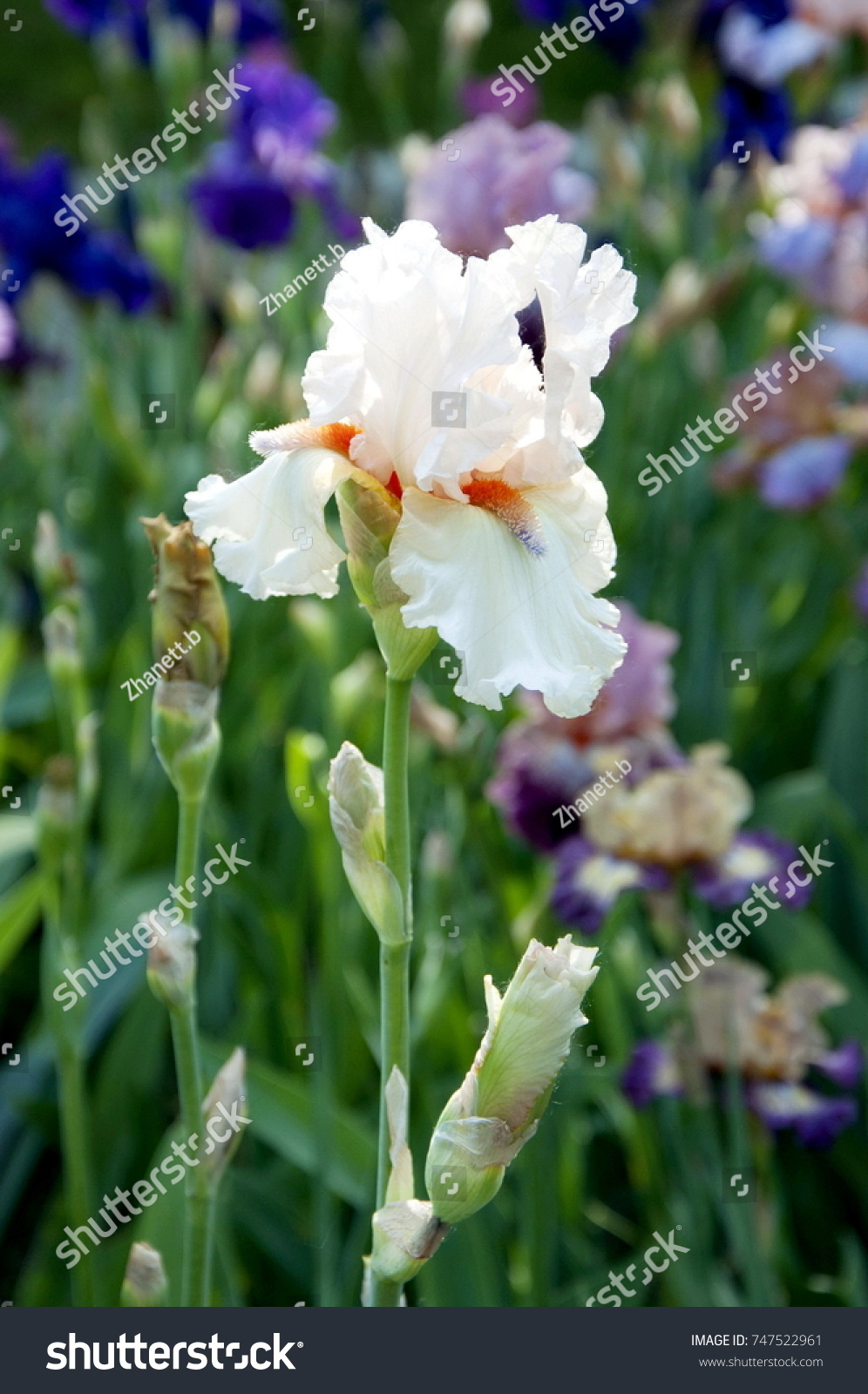 Beautiful white iris blooms may stock photo 747522961 shutterstock beautiful white iris blooms in may izmirmasajfo