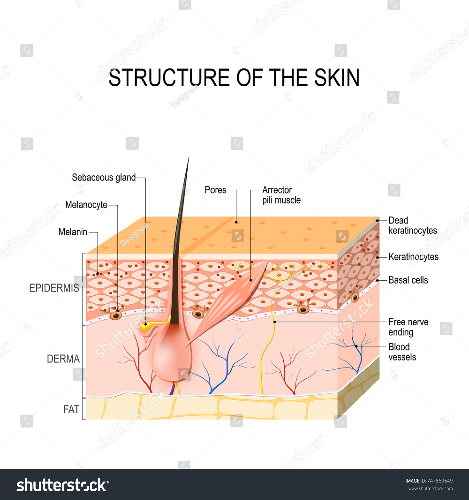Healthy Human Skin Hair Follicle Cell Stock Vector (Royalty Free ...