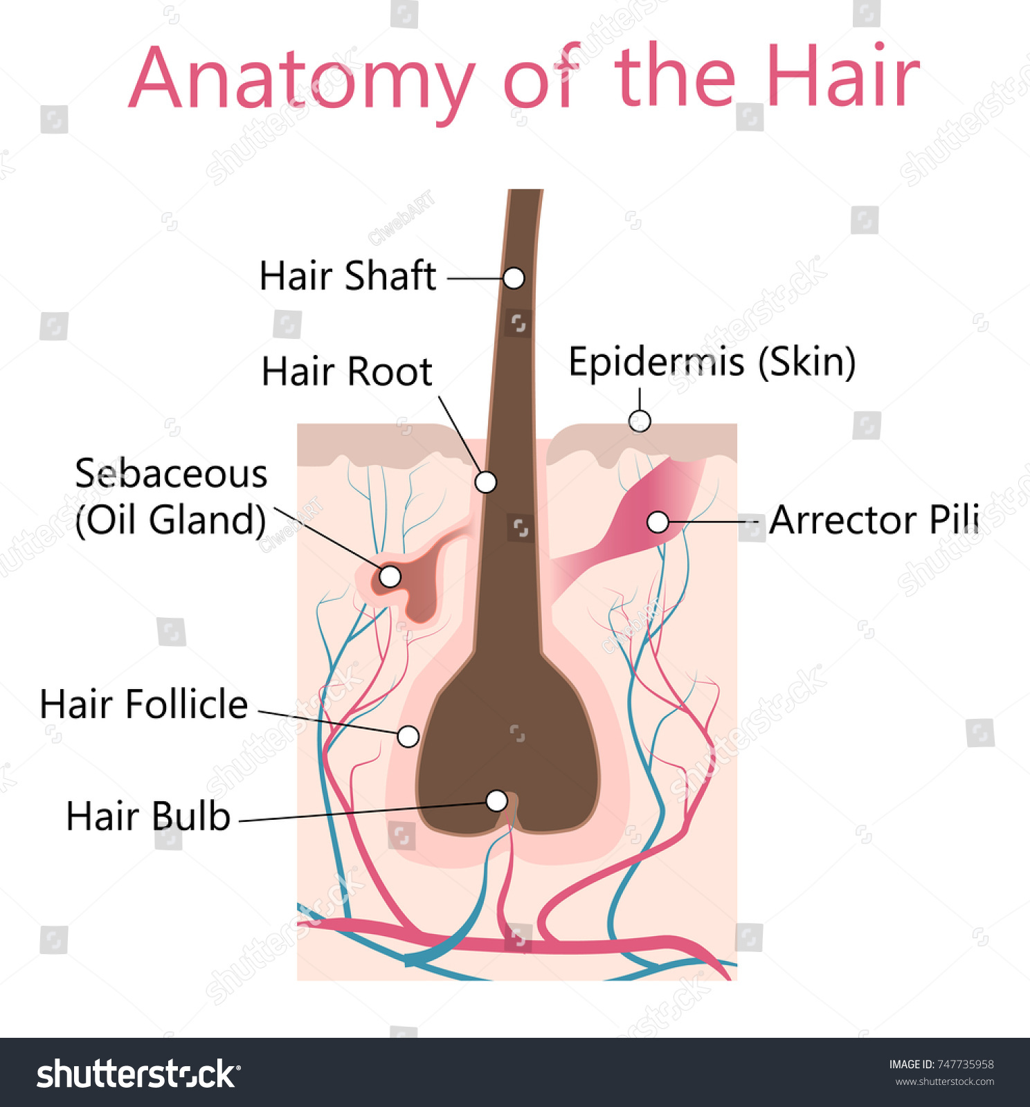 Hair Anatomy Stock Vector (Royalty Free) 747735958 - Shutterstock