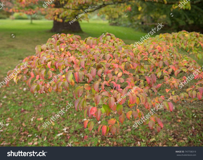 Autumnal Colour Cornus Kousa Dogwood Woodland Stock Photo (100 ...