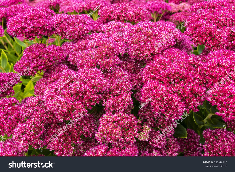 Closeup Purple Sedum Flowering Perennial Plants Stock Photo Edit