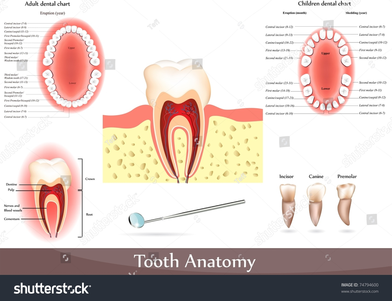Great Collection Tooth Anatomy Detailed Diagrams Stock Illustration ...