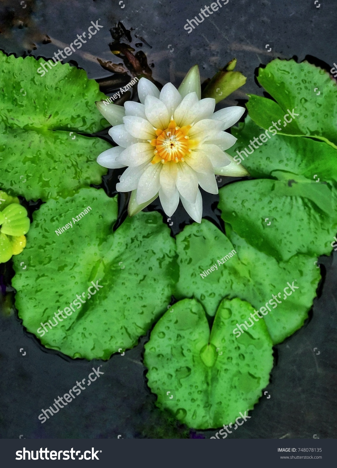Top view white lotus flower stock photo royalty free 748078135 top view of white lotus flower izmirmasajfo