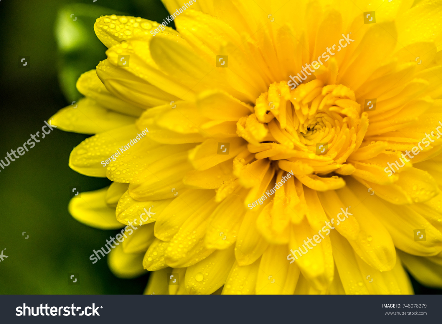 Yellow Dahlia Flower Water Drops On Stock Photo Royalty Free