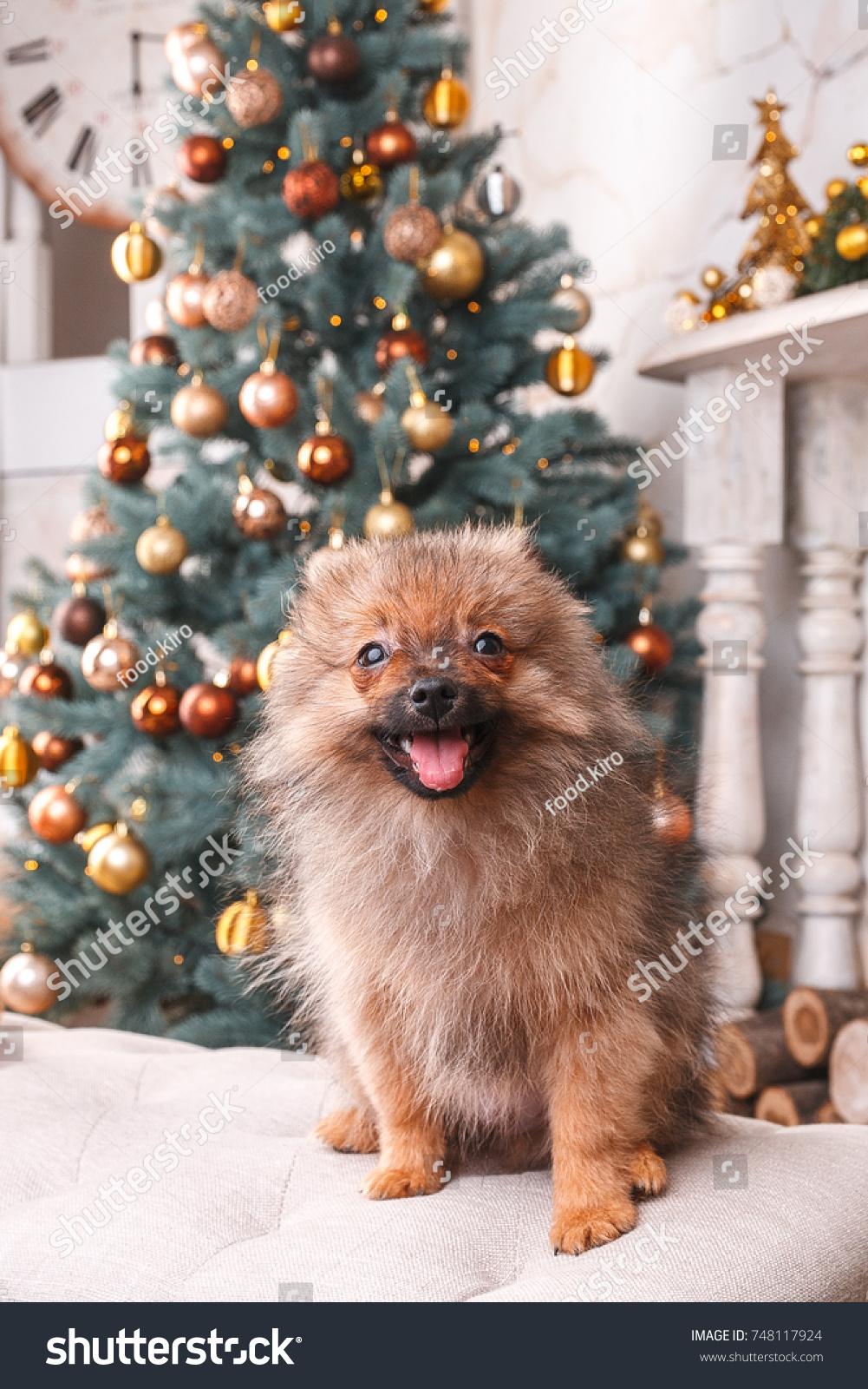 Small Cute Funny Pomeranian Dog Sitting Stock Photo Edit Now