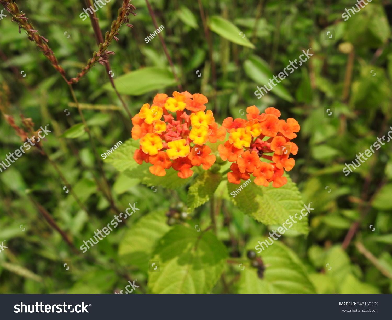 Tiny Orange Yellow Flowers Lantana Stock Photo Edit Now 748182595