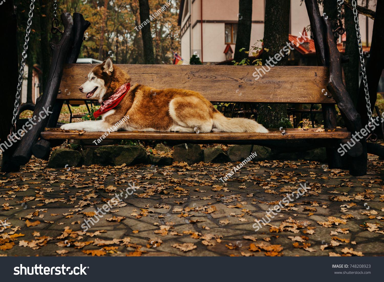 Funny White Brown Siberian Husky Dog Stock Photo Edit Now 748208923