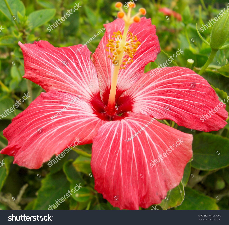 Hawaiian Hibiscus Flowers Hibiscus Rosasinensis Stock Photo Royalty
