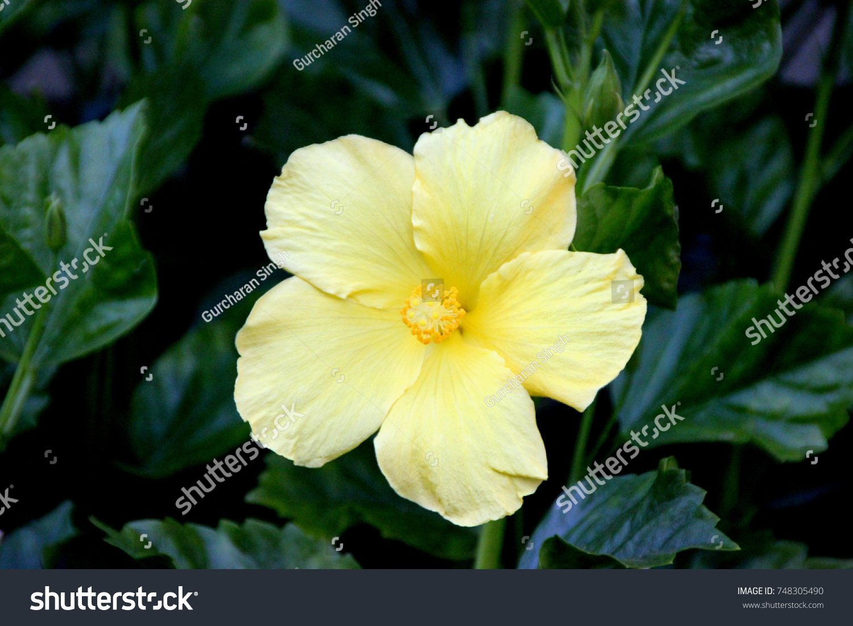 Hibiscus Rosasinensis Butterfly Yellow Cultivar Evergreen Stock