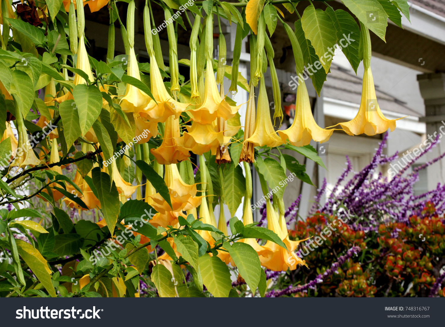 Brugmansia Suaveolens Angels Trumpet Shrub Tree Stock Photo Royalty