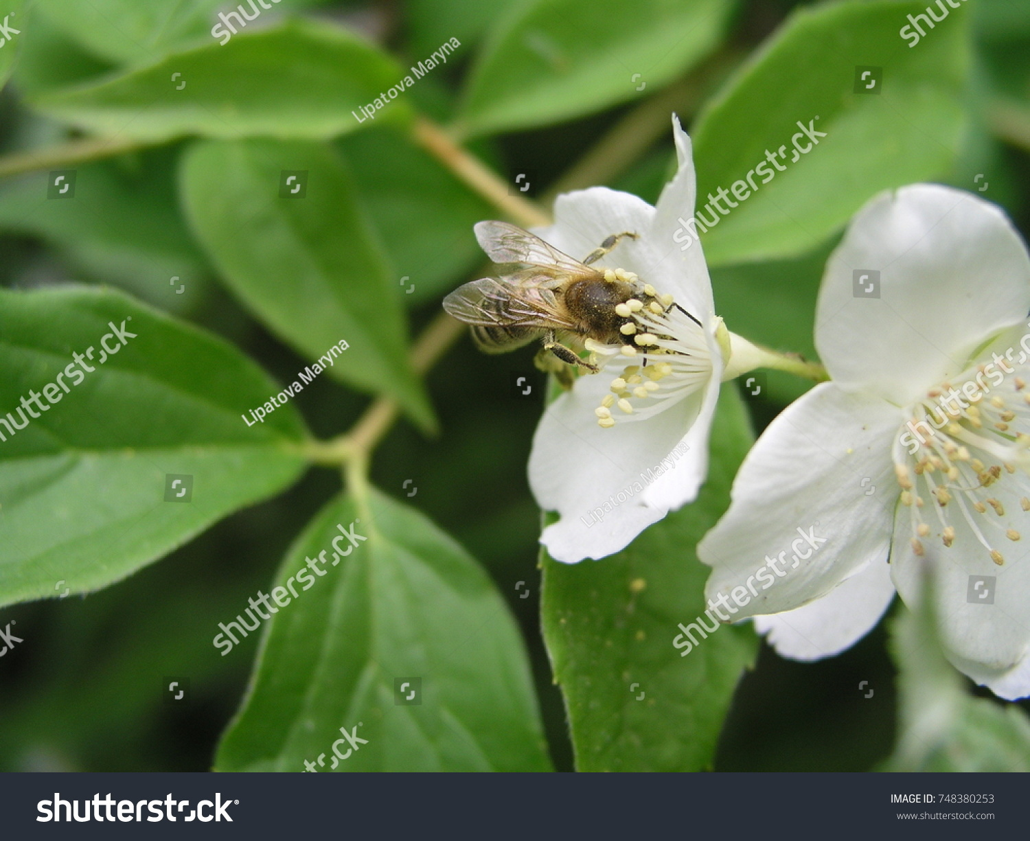 Jasmine yasmine is a genus of shrubs and vineyards in an olive id 748380253 izmirmasajfo