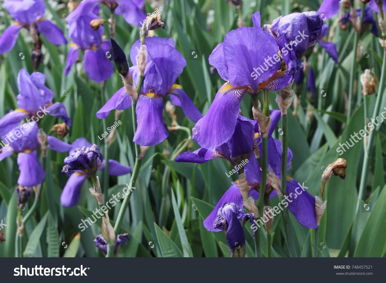 Iris Flowers In A Garden Ez Canvas