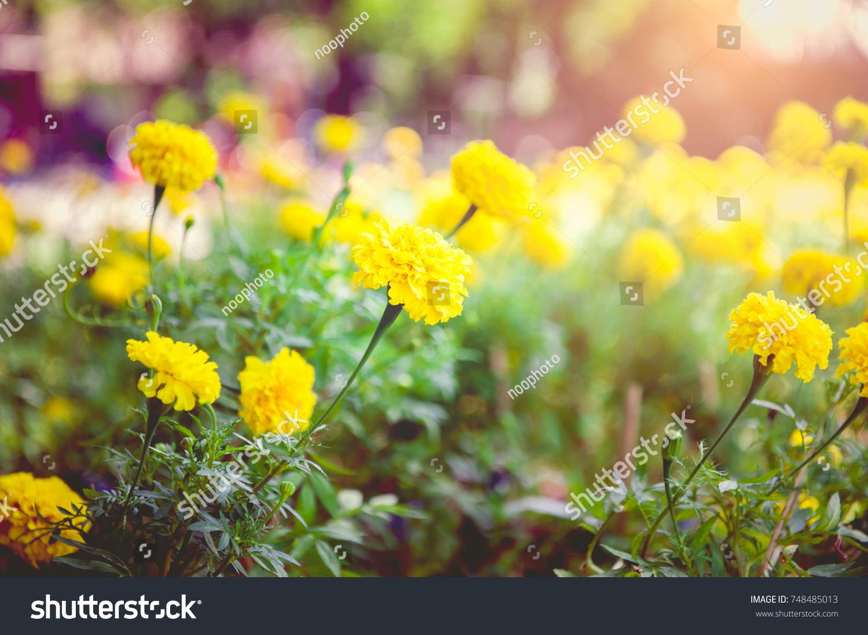 Marigold Flowers Meaning Flowers Of Prosperity Beliefs Of Thai
