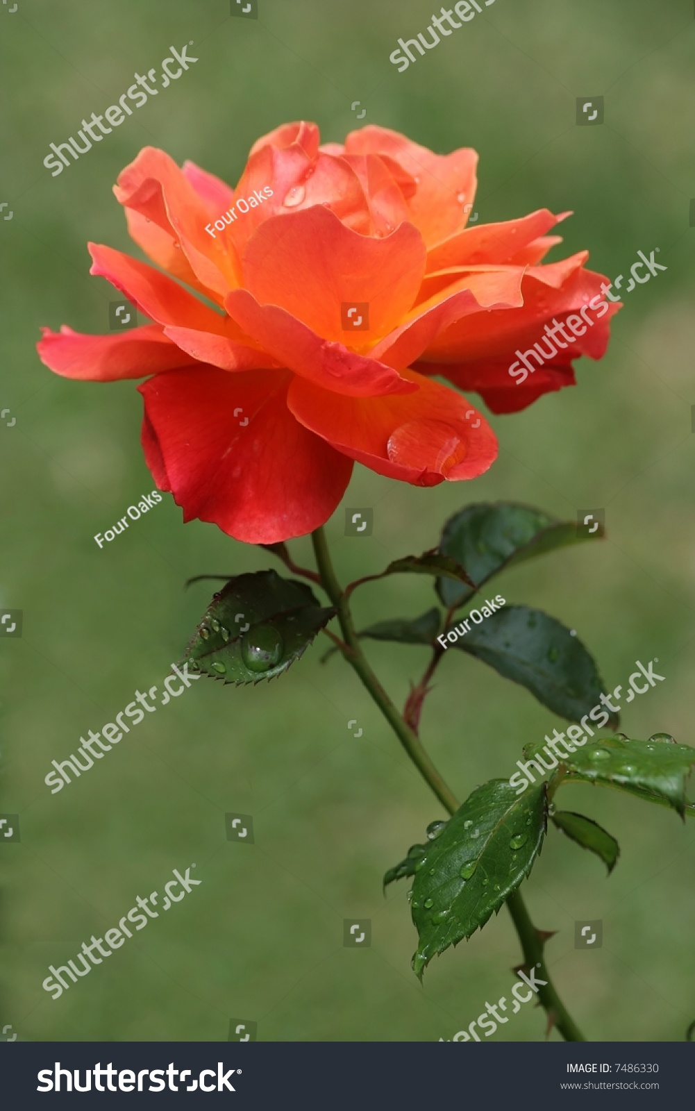 Beautiful rose flower bloom water droplets stock photo edit now a beautiful rose flower bloom with water droplets from the rain izmirmasajfo
