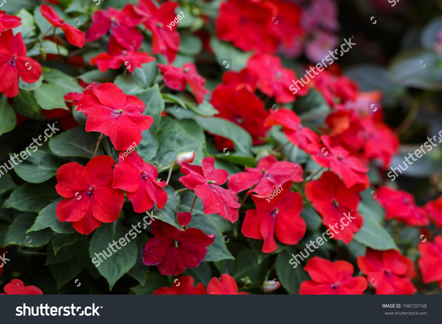 Image Beautiful Red Impatiens Flowers Garden Stock Photo Edit Now