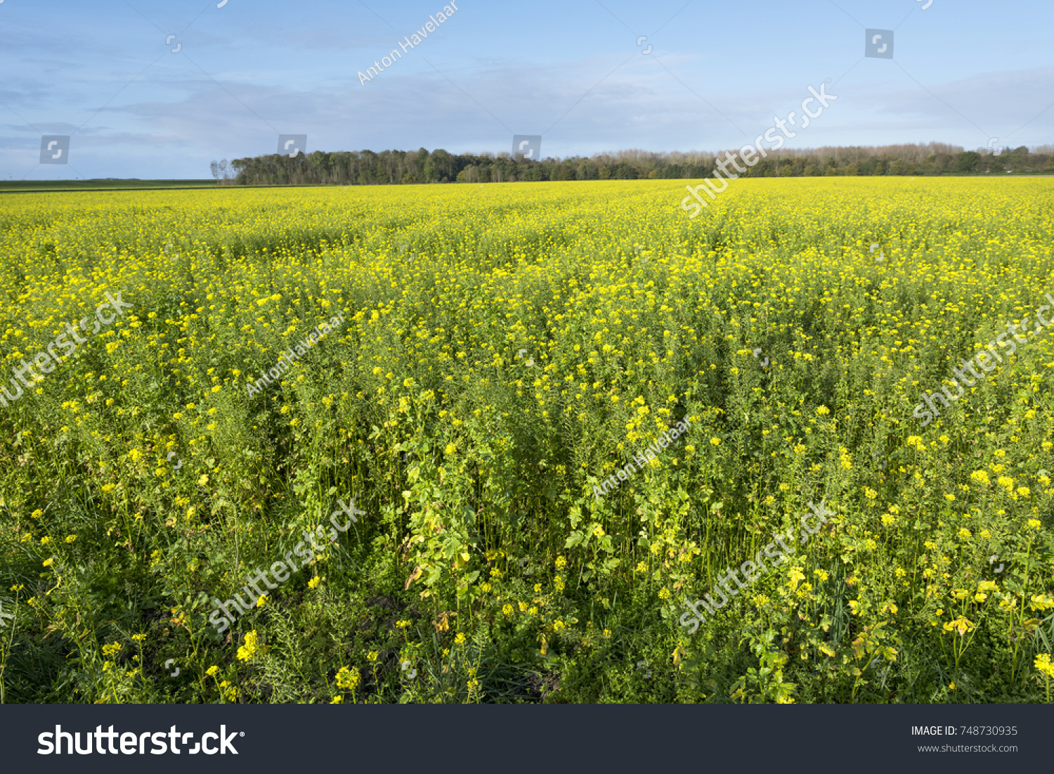 Yellow Flowers Mustard Seed Field Blue Stock Photo Royalty Free