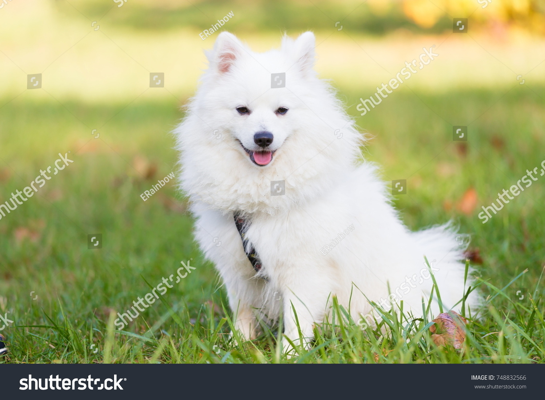 White Pomeranian Dog Ez Canvas