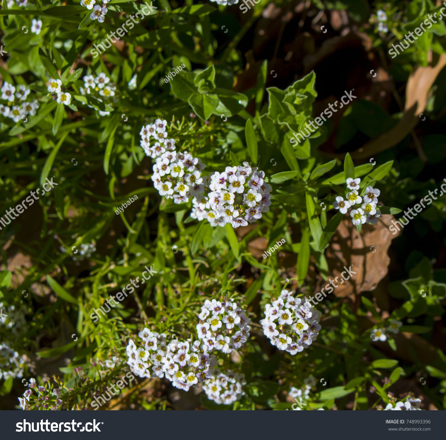 Petite Snow White Flowers Lobularia Maritima Stock Photo Image