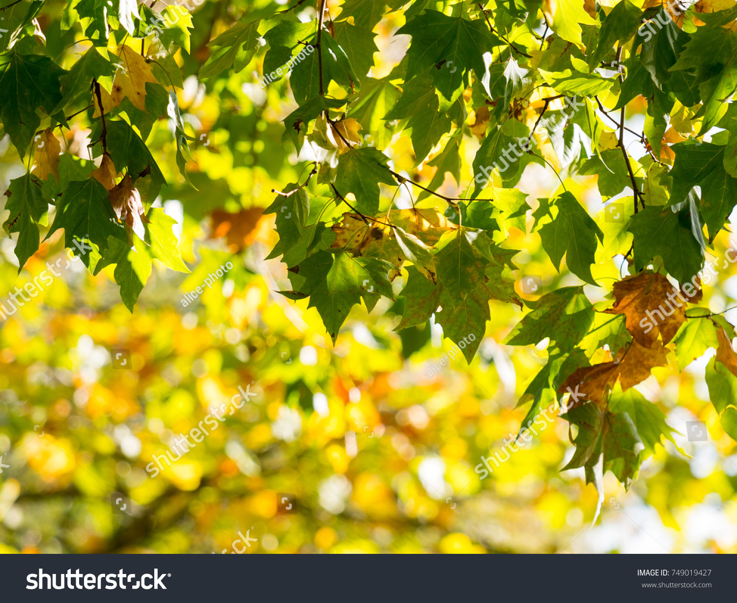 Colorful Green Yellow Autumn Maple Leaf Stock Photo 749019427 ...
