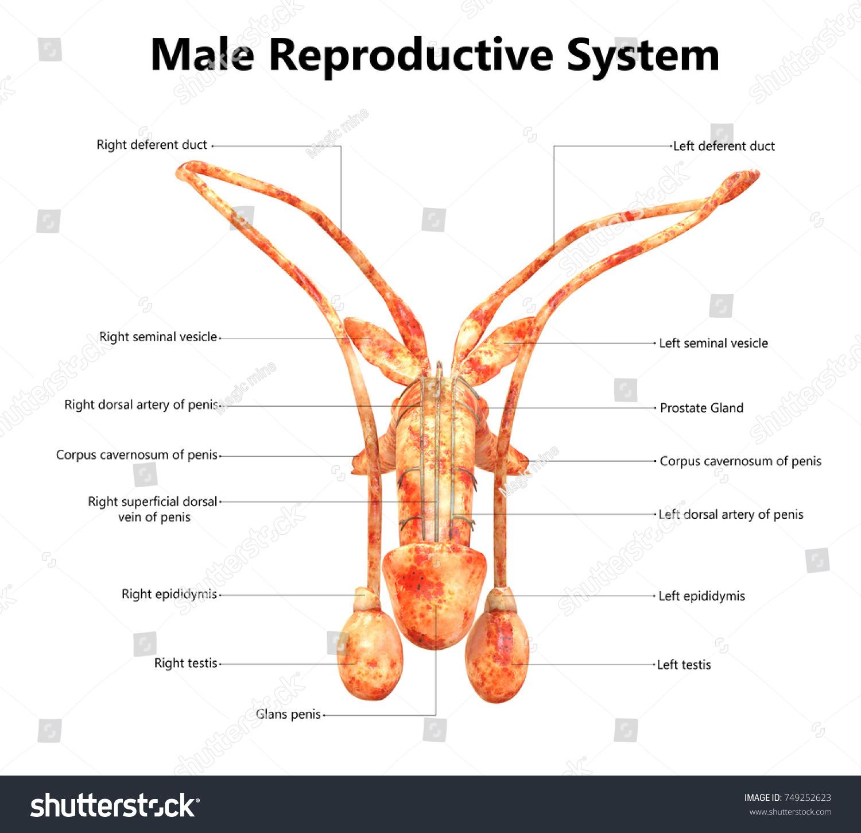 Male spider anatomy