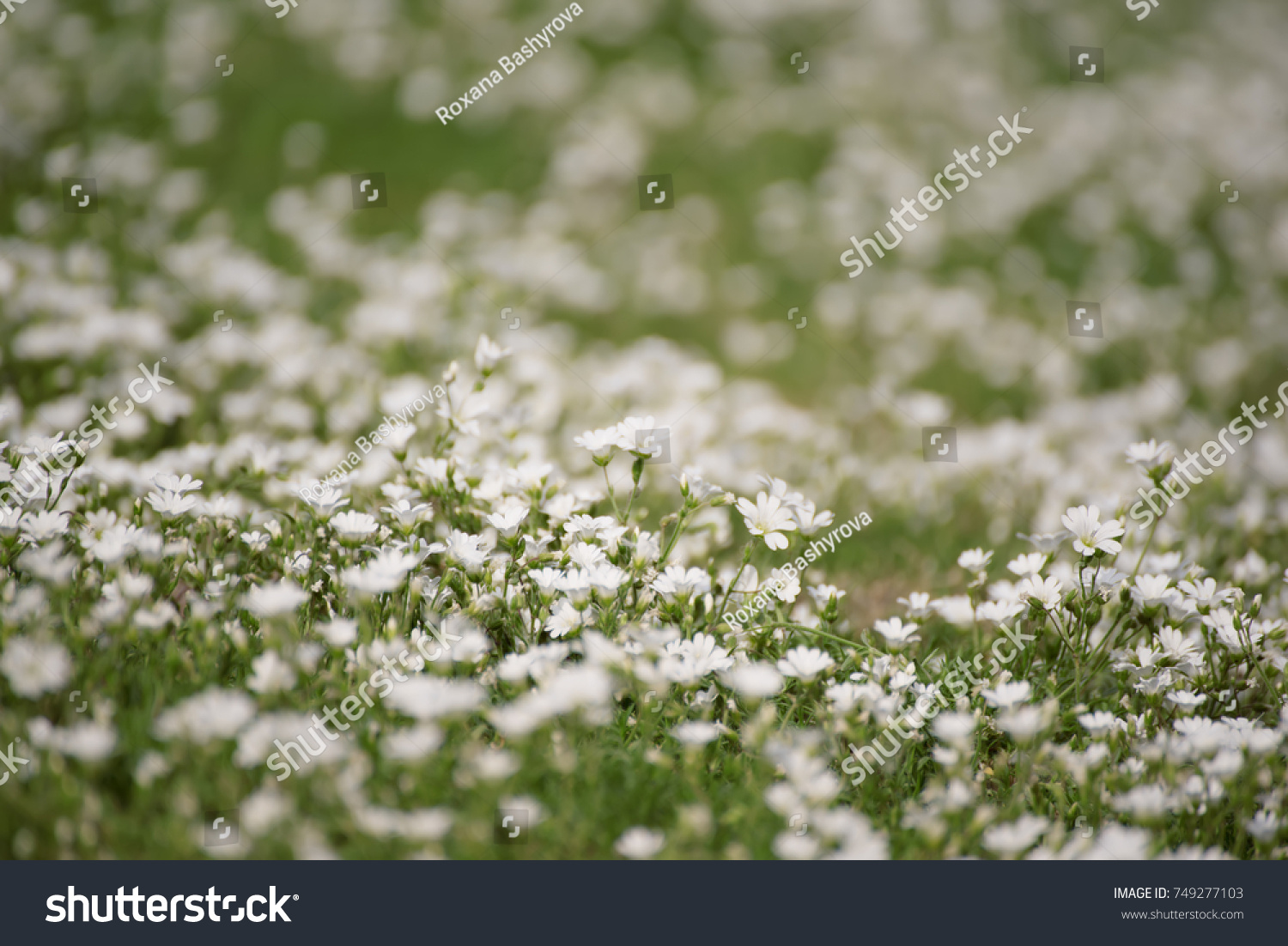 White Tender Spring Flowers Growing Meadow Royalty Free Stock Image