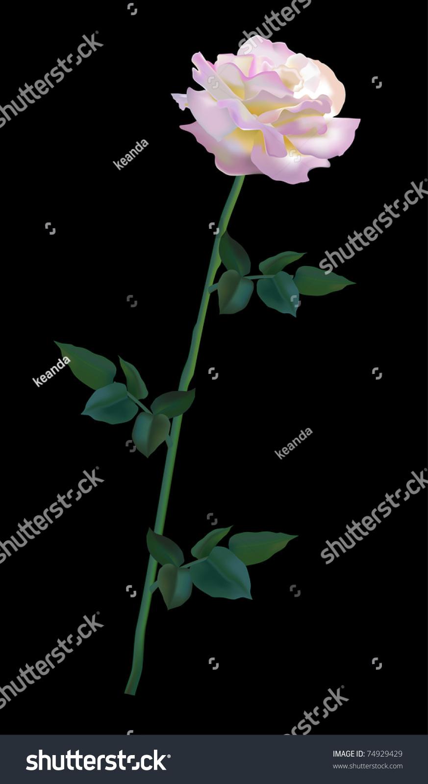 rosa gloria dei vector rose 74929429 shutterstock. Black Bedroom Furniture Sets. Home Design Ideas