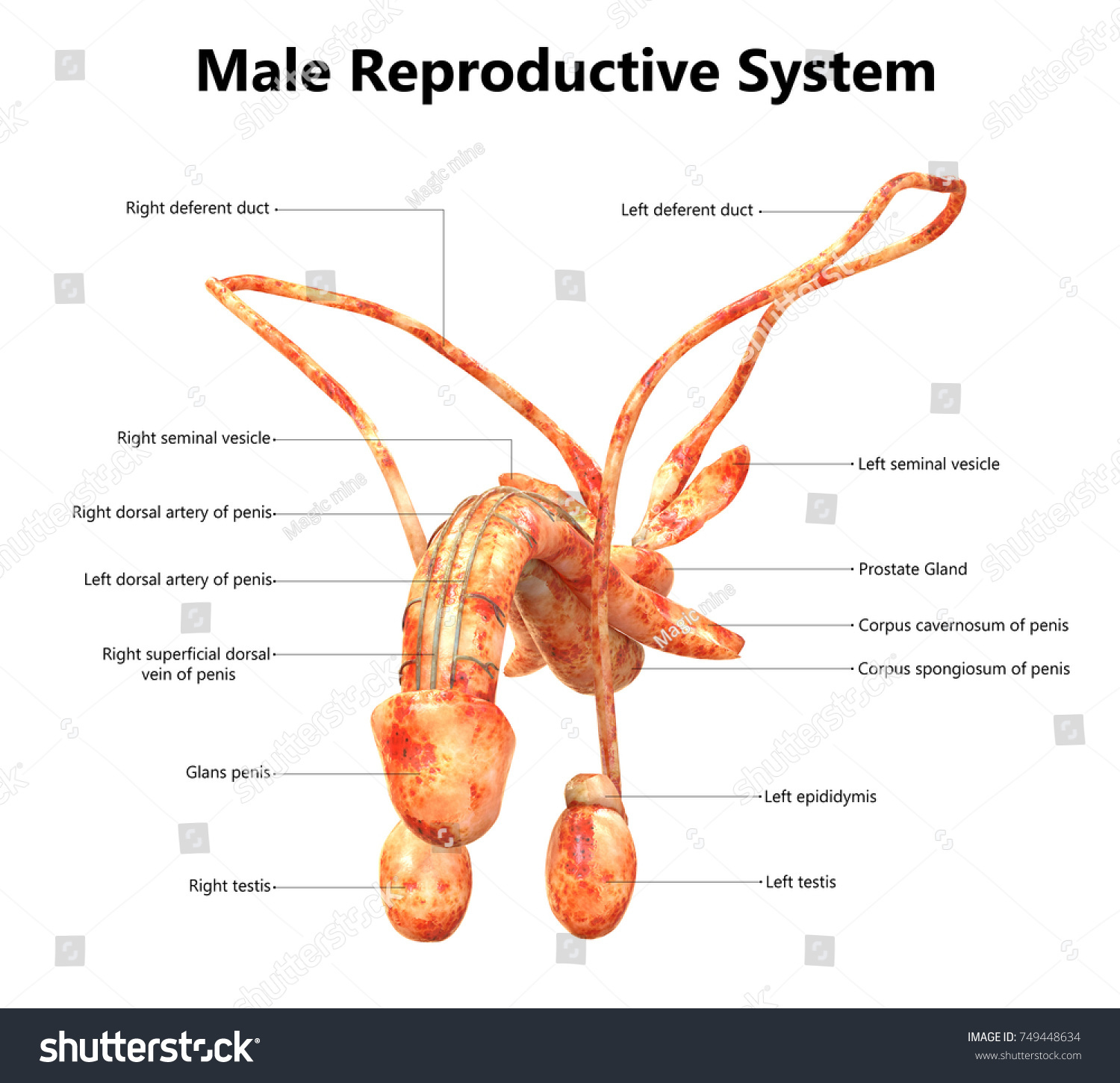 Male Reproductive System Anatomy Detailed Labels Stock Illustration ...
