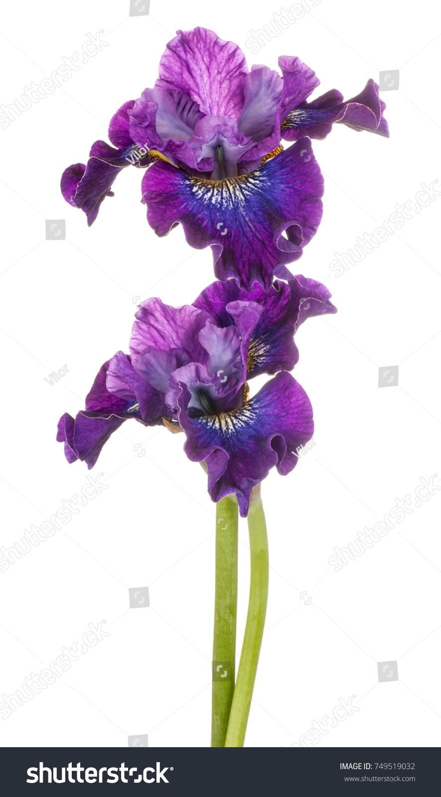 Iris Flowers Ez Canvas
