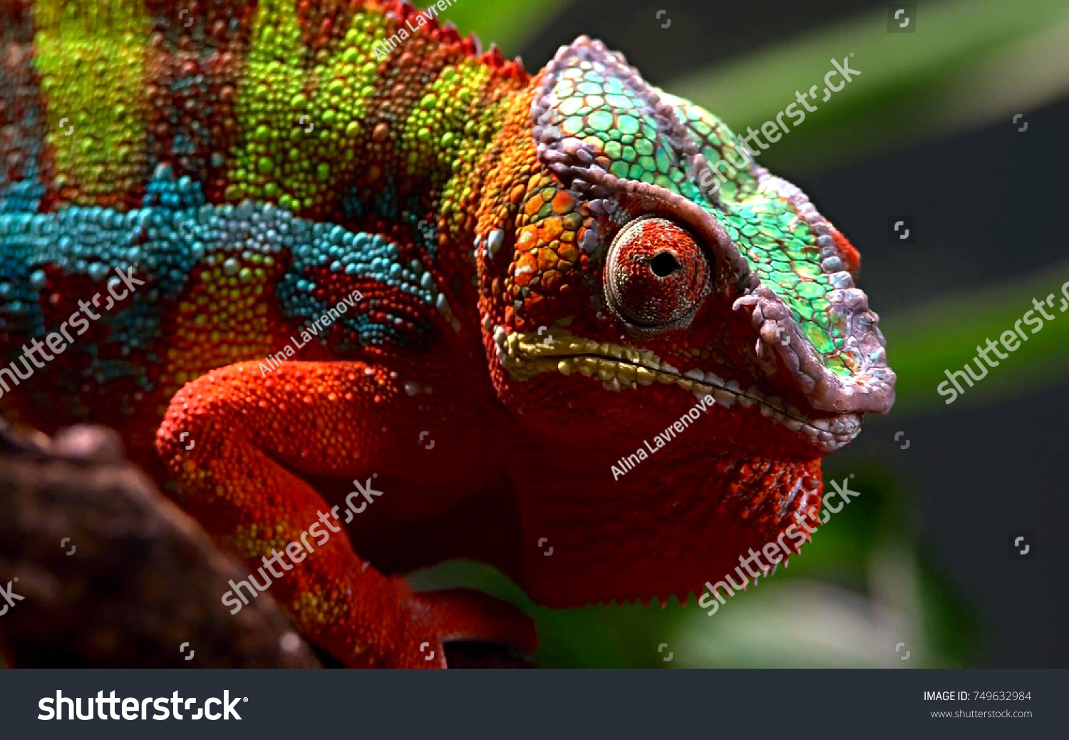 Close up animal portrait photo of chameleon lizard changing color of skin #749632984
