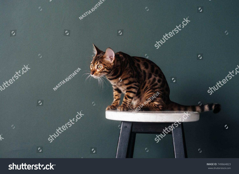 Bengal Cat Stock Photo Edit Now 749664823 Shutterstock
