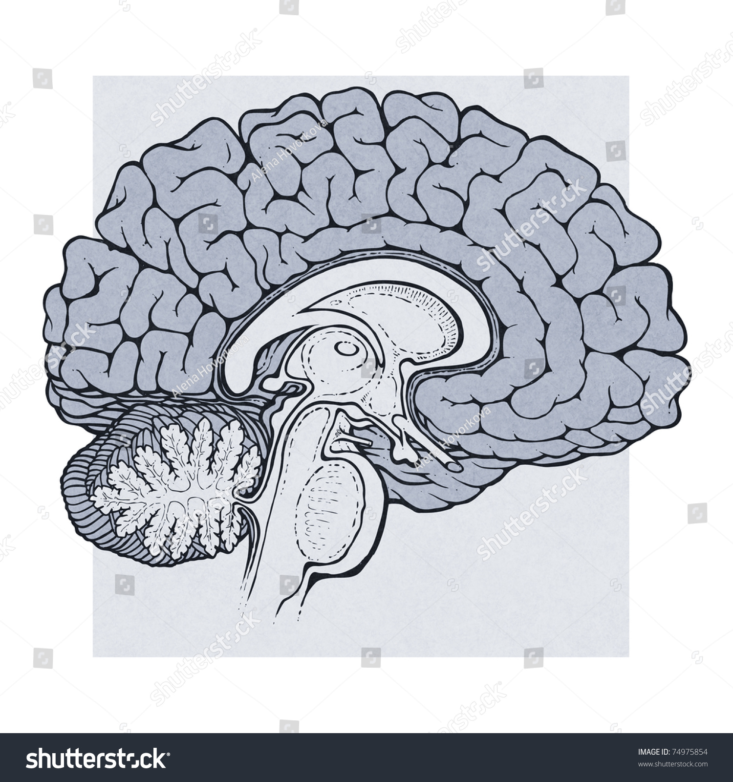 Human Brain Sagittal View Medical Schematic Stock Illustration ...