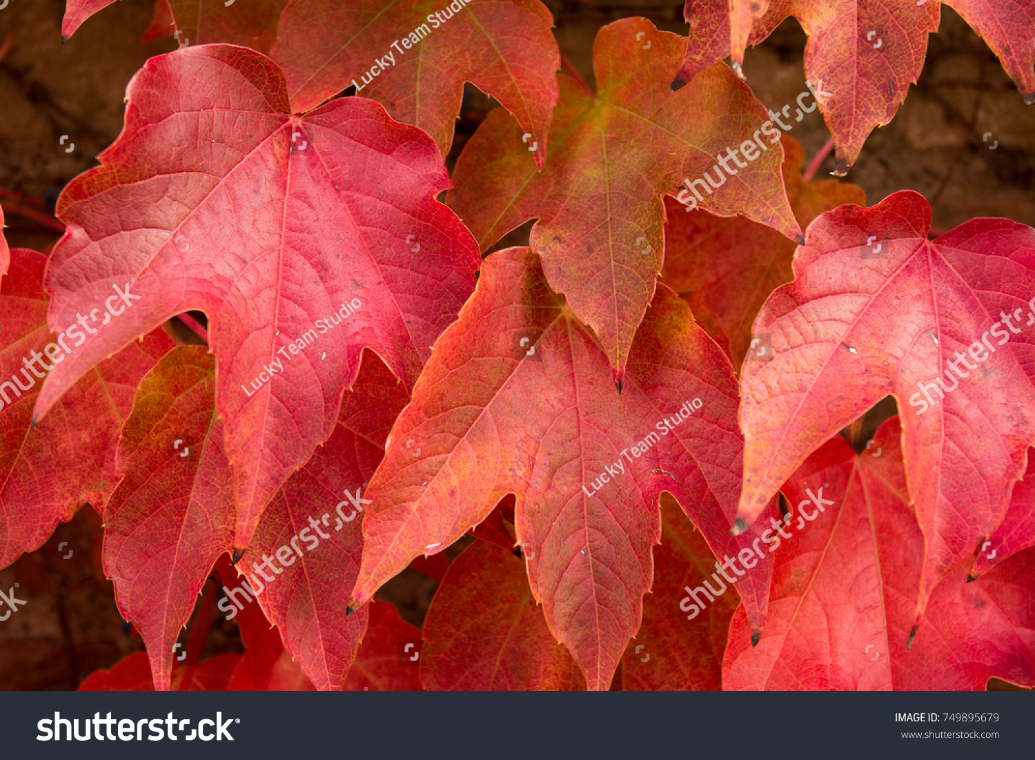 Autumn Background Brick Wall Wallpaper With Maple Leaves Creeper Id 749895679