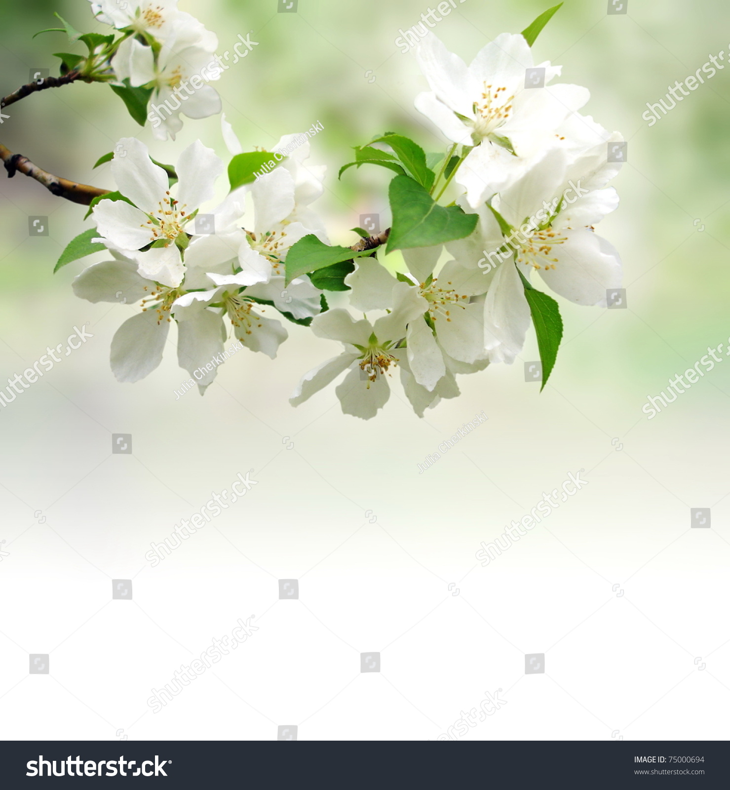 Bokeh Flowers Wedding: Photo Of Blossoming Tree Brunch With White Flowers On