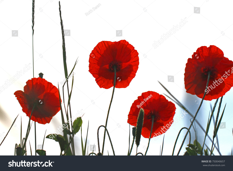 Poppy Flowers Papaver Rhoeas Poppies Light Stock Photo Edit Now